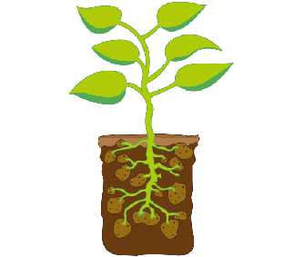Illustration of a potato plant's leaves and root system.